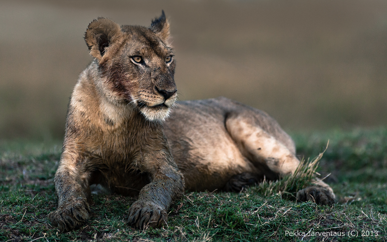 Young Lion, masai mara