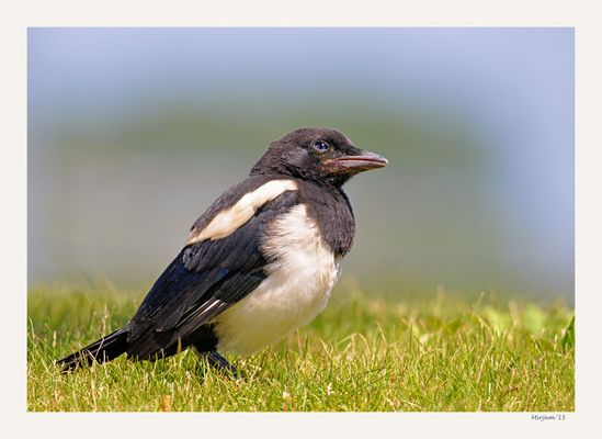 Young magpie ..