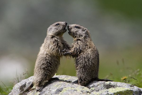 Young marmots
