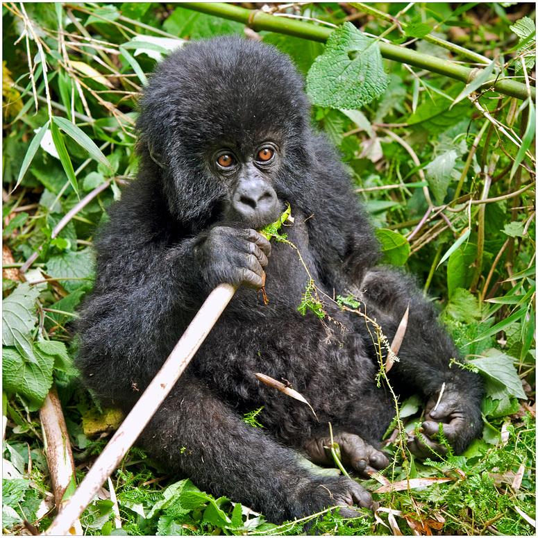 [ Young Mountain Gorilla ]