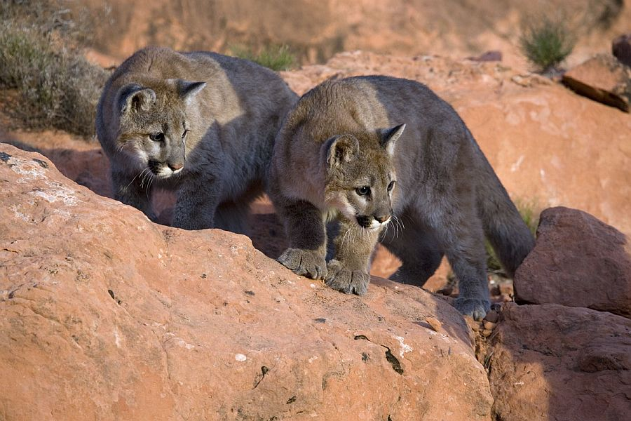 Young mountain lions hunting