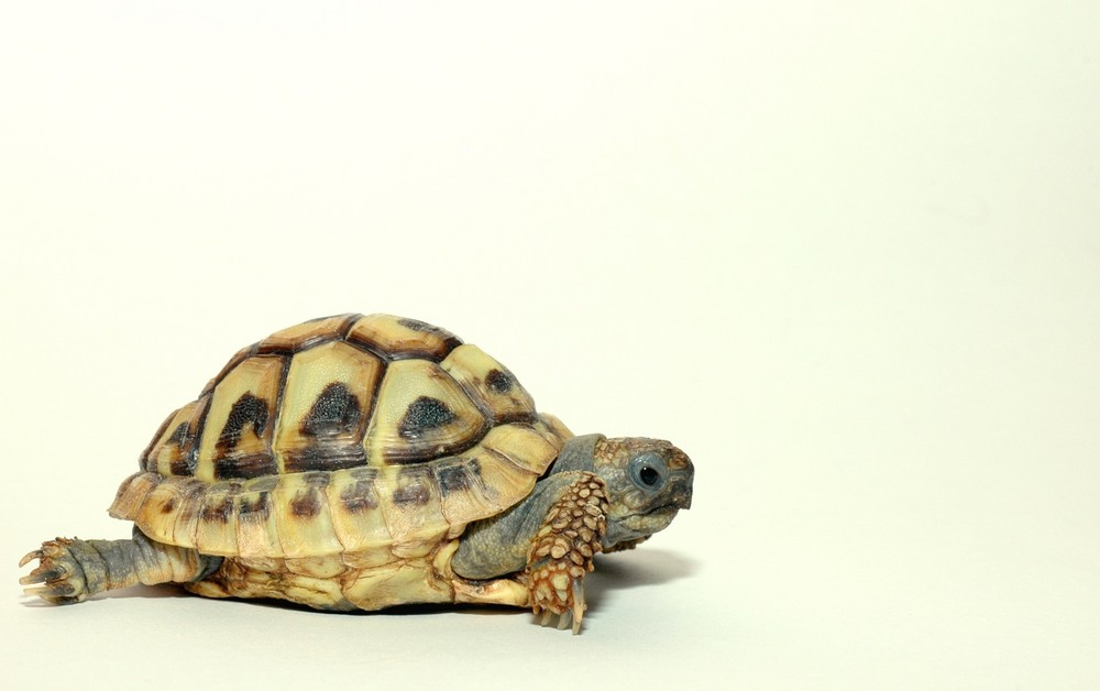 Young Testudo hermanni