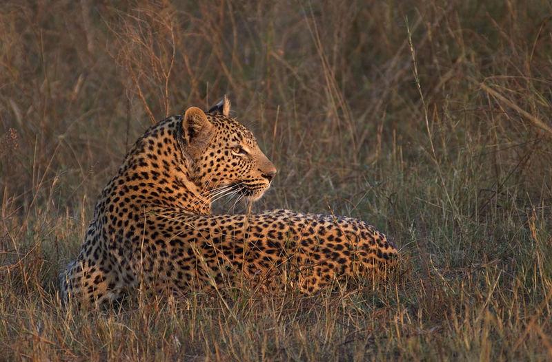 Your Leopard