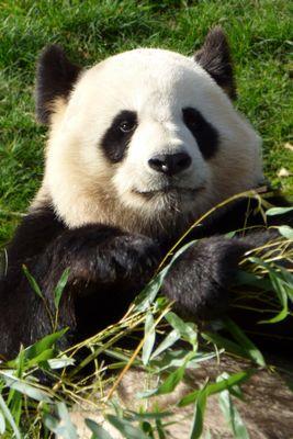 Yuan Zi, panda