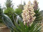 Yucca con flor