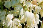 Yuccablüte