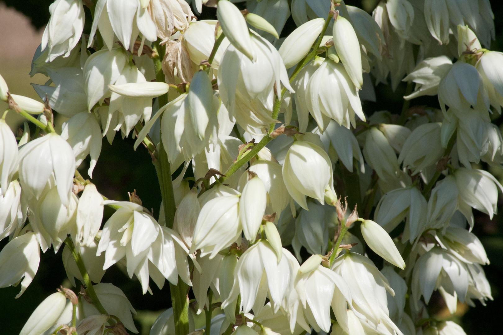 Yuccablüte2