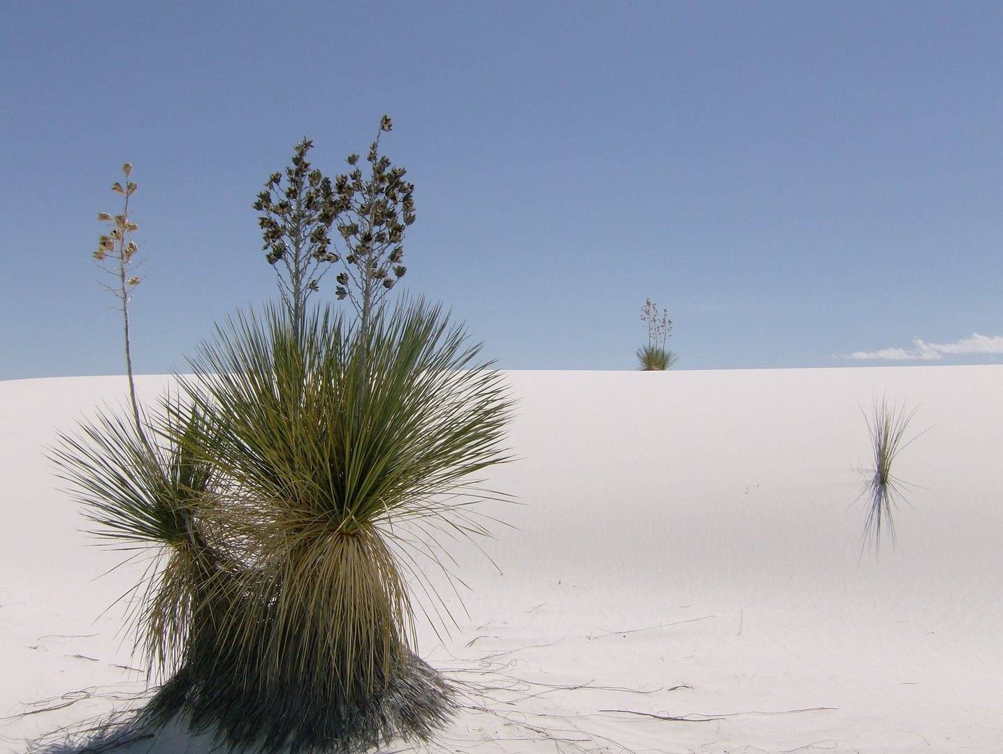 Yuccas in White Sands