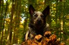 Yukon im Herbstwald