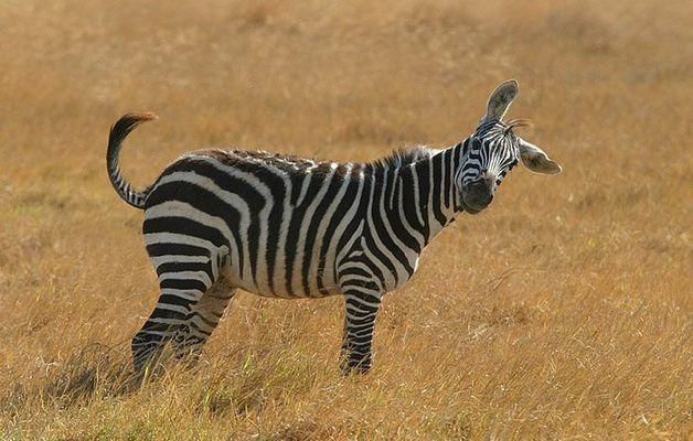 z wie zebra 1