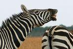 z wie zebra 2 (schwanz ab..)