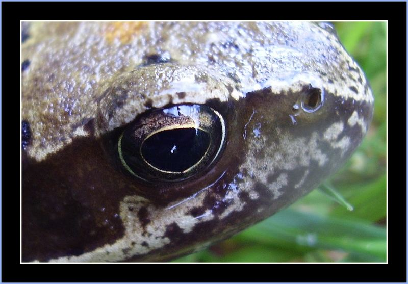 zabí oko / frog's eye