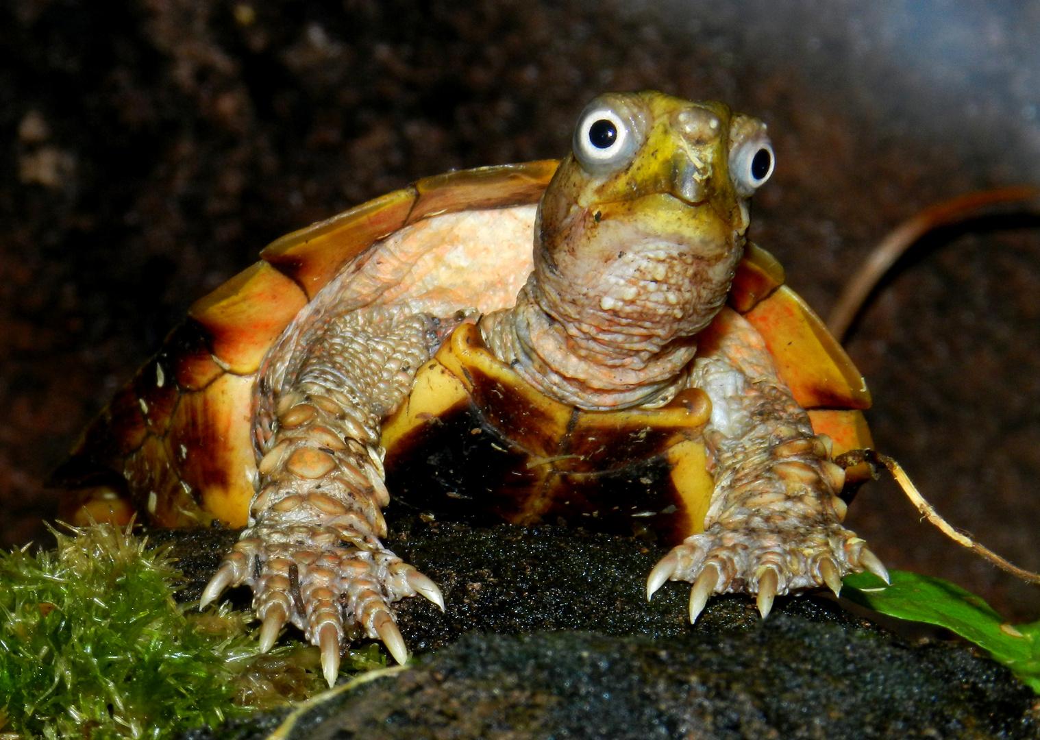 Zackenerdschildkröte