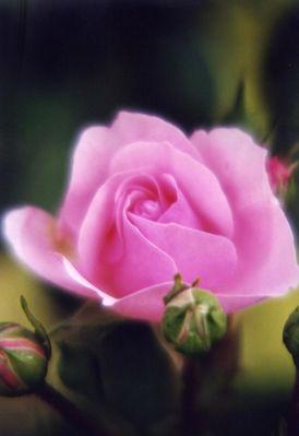zärtliche Rose