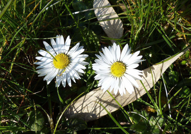 Zaghafte Blüte