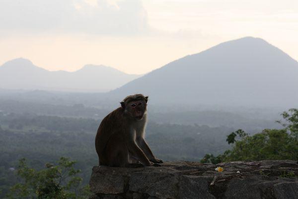 zahlreiche Affen gibt es auf Sri Lanka...
