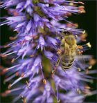 Zahlreiche Bienenvölker