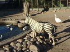 """zahmes"" Zebra"