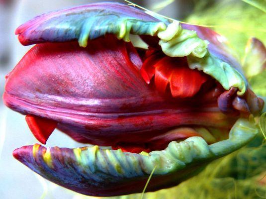Zahnende Tulpe