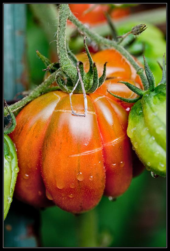 Zahnrad-Tomate