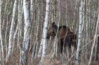 Zander im Birkenwald