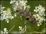 Zangenbock (Rhagium mordax)