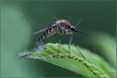 Zanzara tigre egiziana – Aedes aegyptis Linnaeus, 1762
