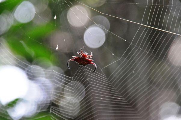 Zanzibar-Spider