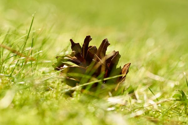Zapfen im Gras