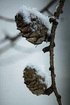 Zapfen im Winterschlaf