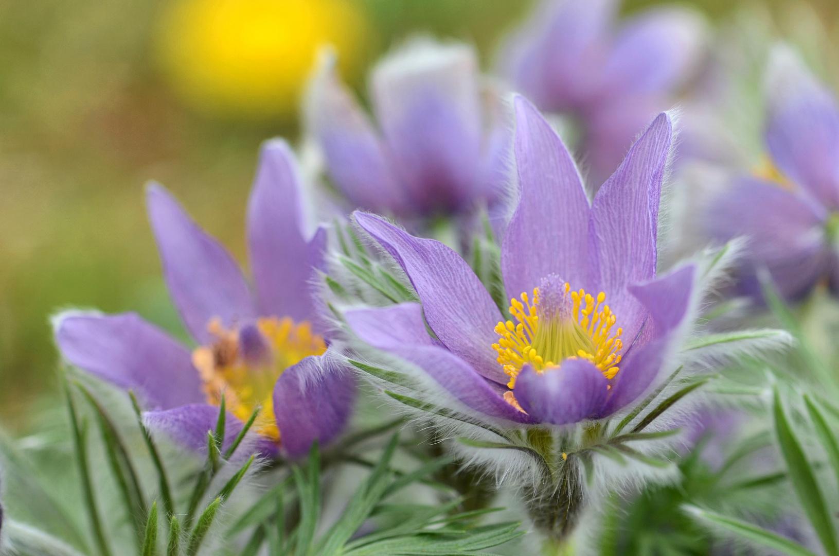 zart lila...