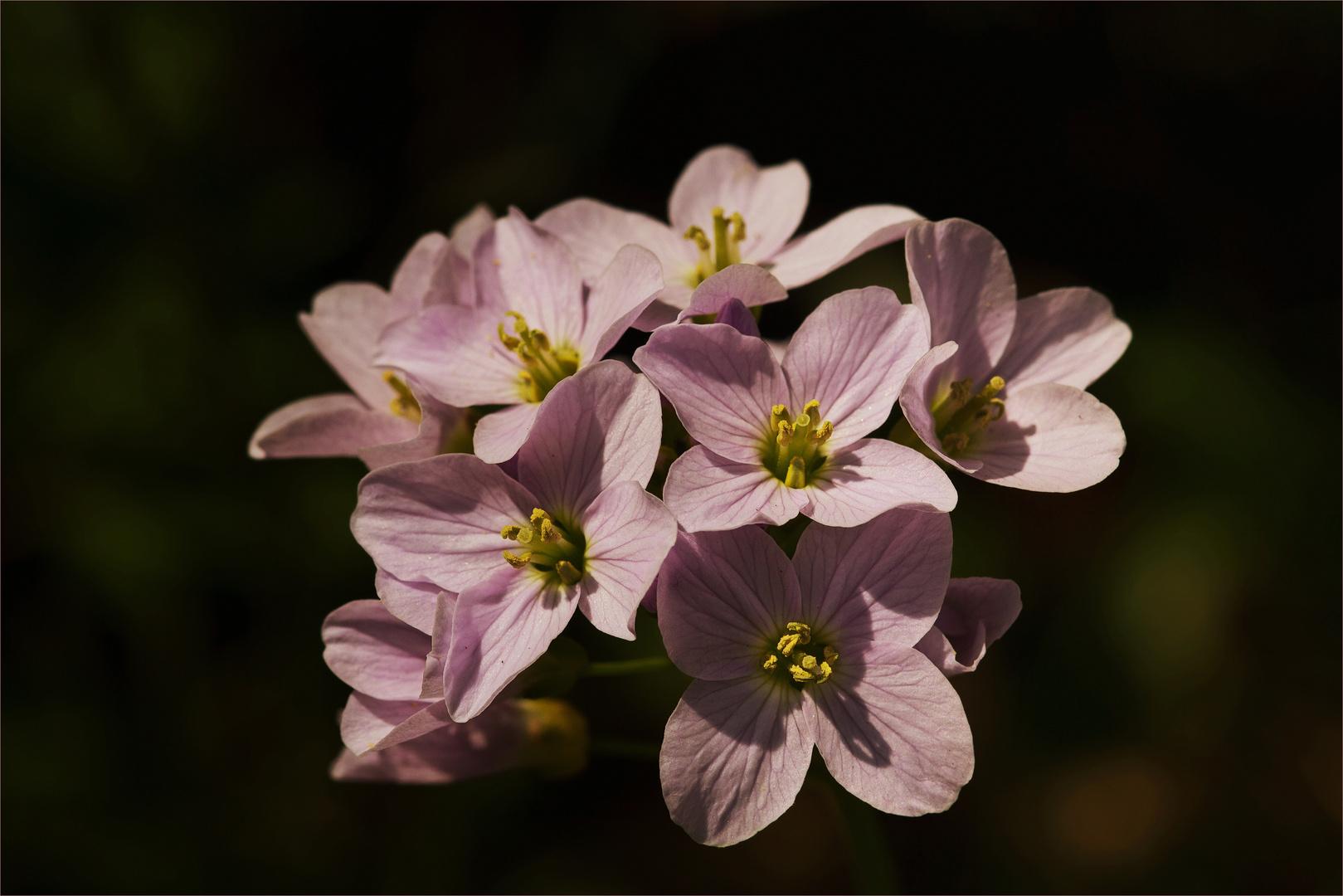 Zart Lila - rosa oder weiß -