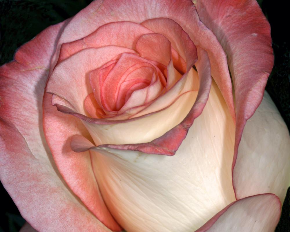 zart-rosa Rosenblüte