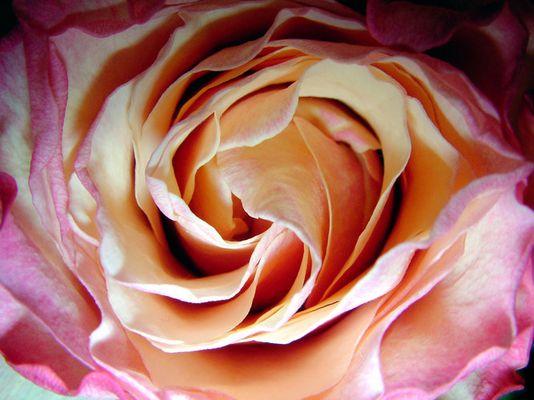zart wie Rosenblütenblätter