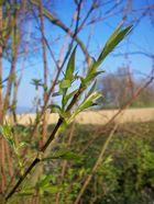zarte Blätter