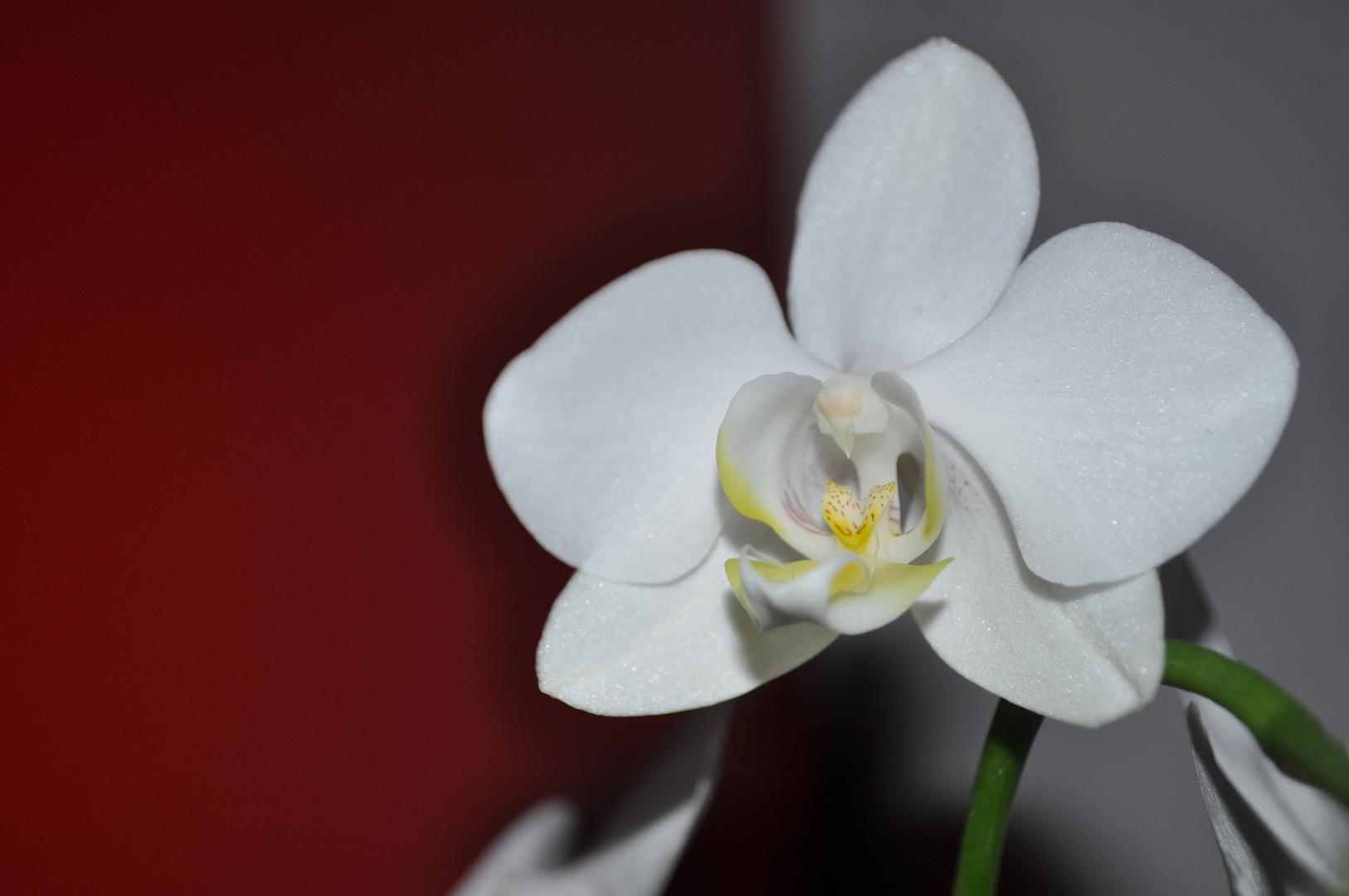 Zarte Blüte einer Orchidee