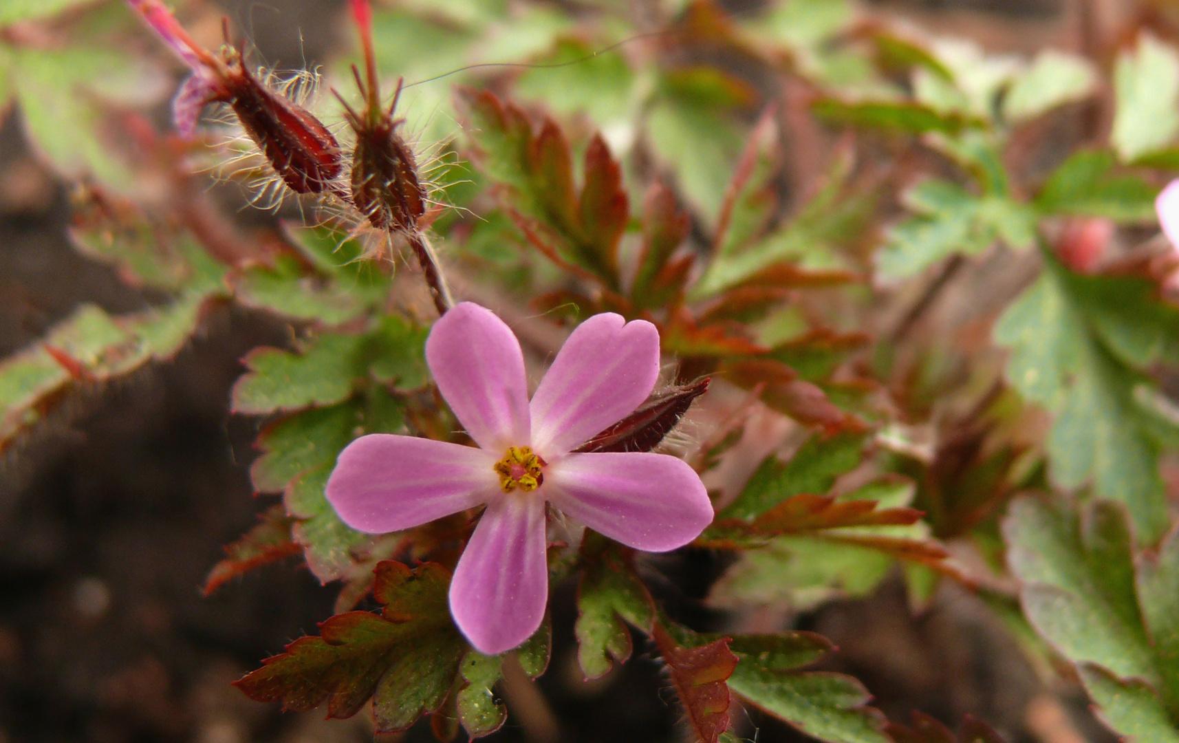 Zarte Blüten am Waldrand 1: Storchschnabel