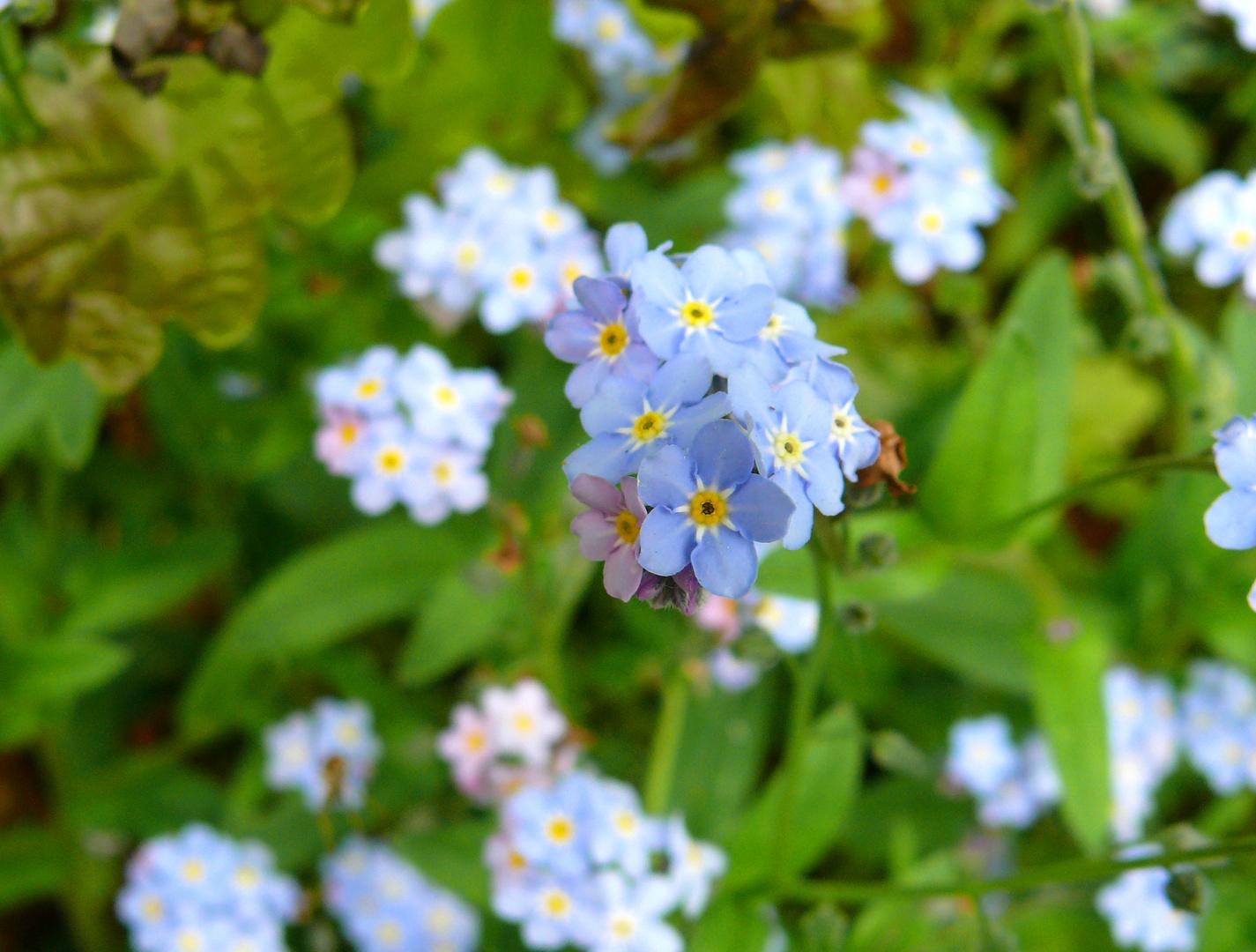 Zarte Blüten am Waldrand 2