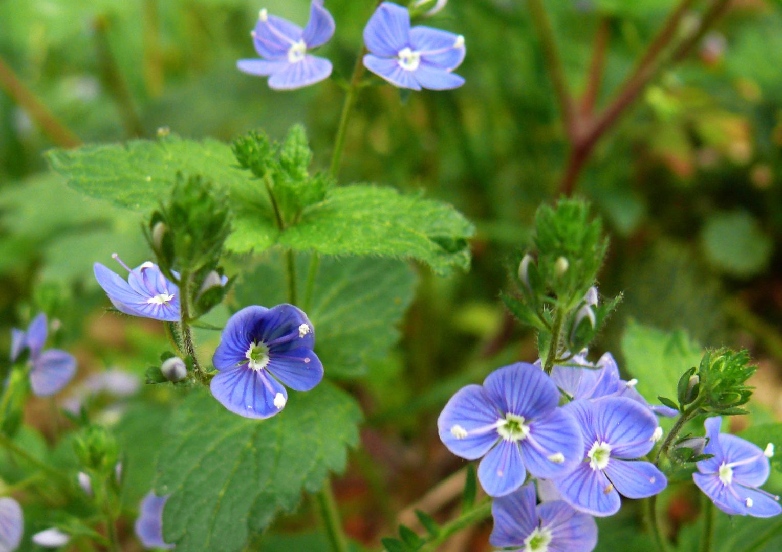 Zarte Blüten am Waldrand 3