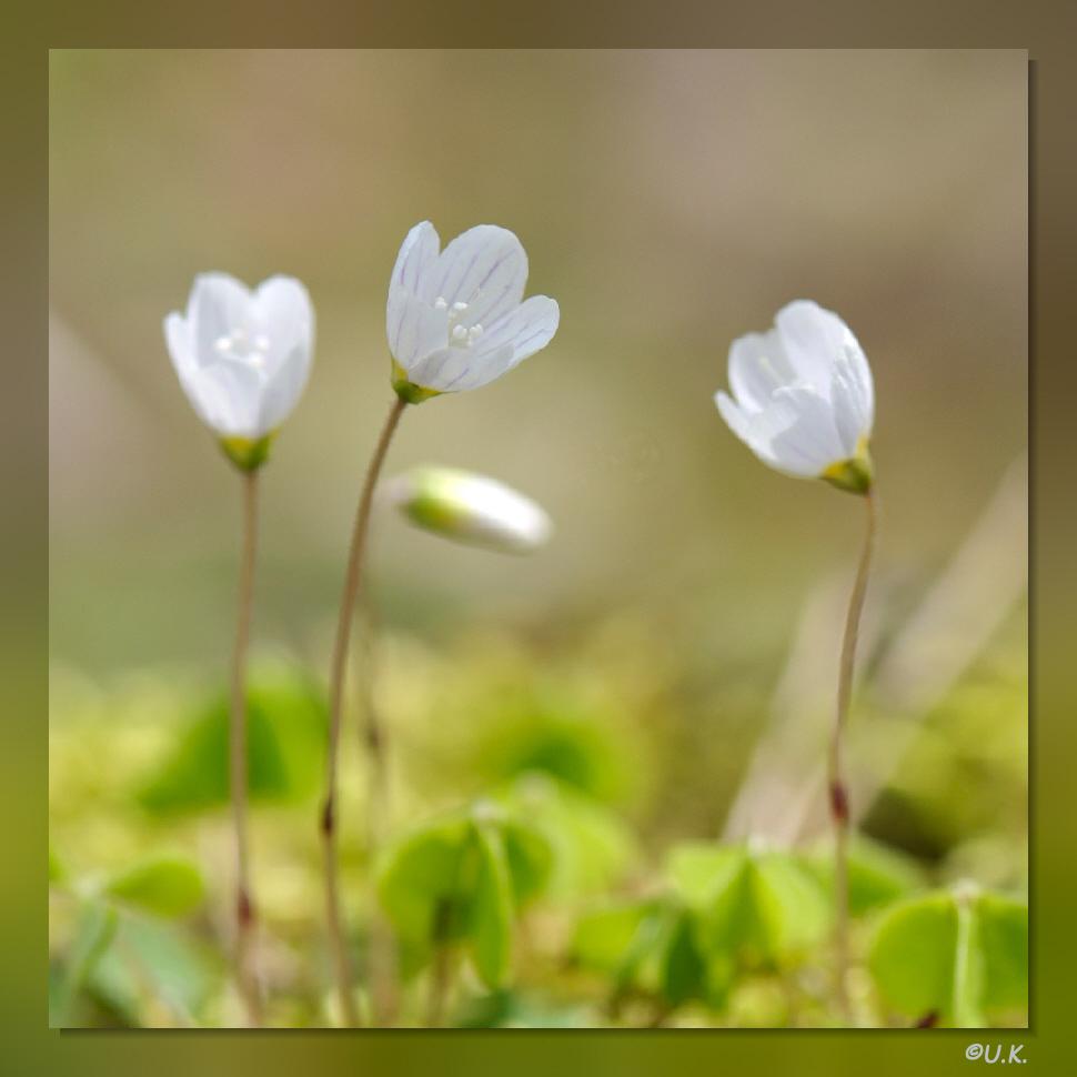 zarte Blüten im Wald...