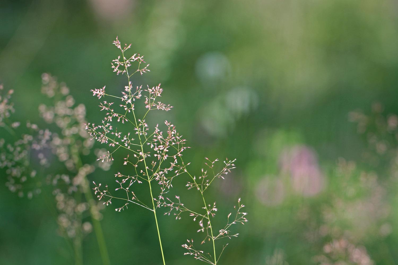 **Zarte Gräser in der Morgensonne**