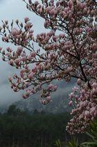 Zarte Magnolie vor den Bergen