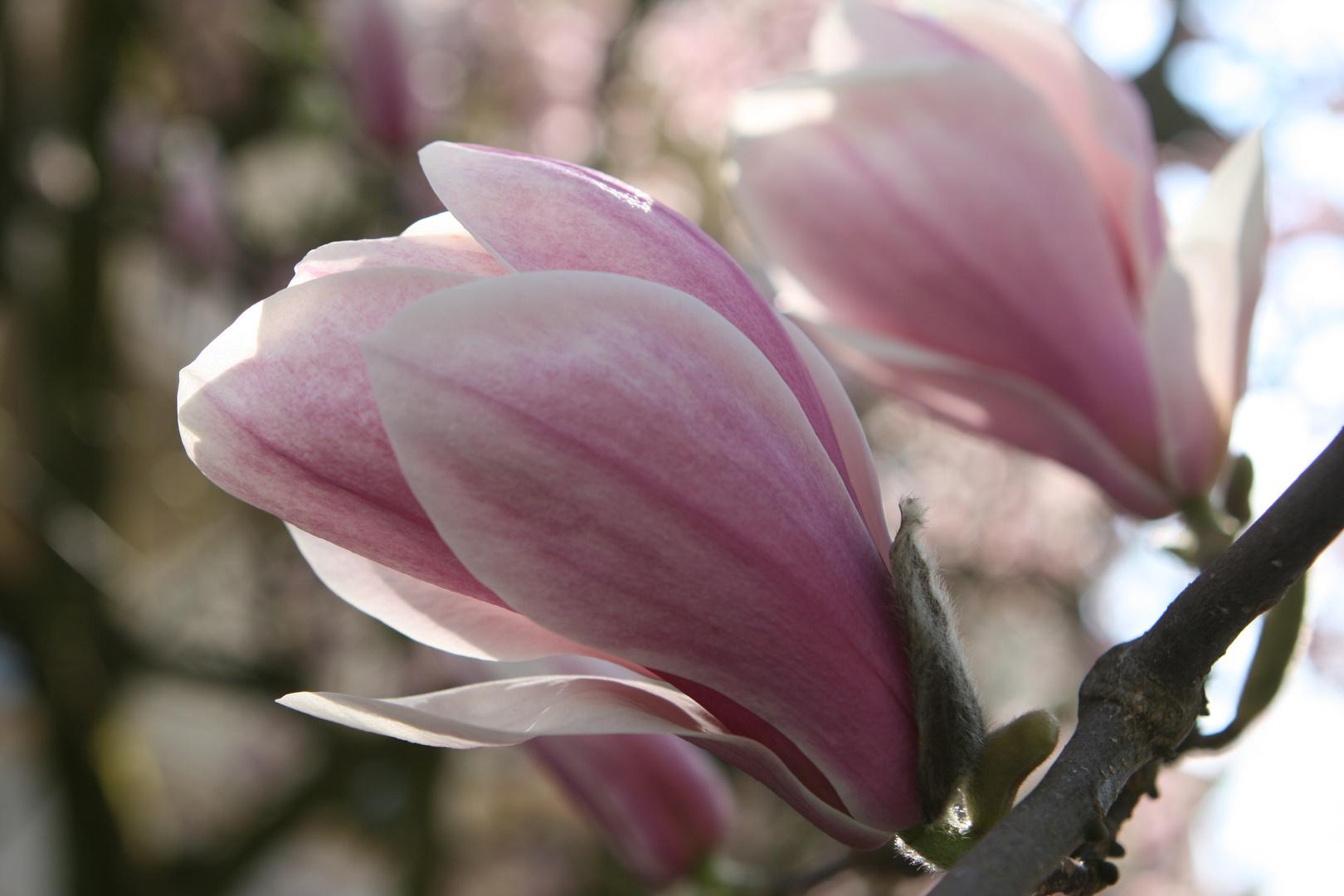 Zarte Magnolienblüten