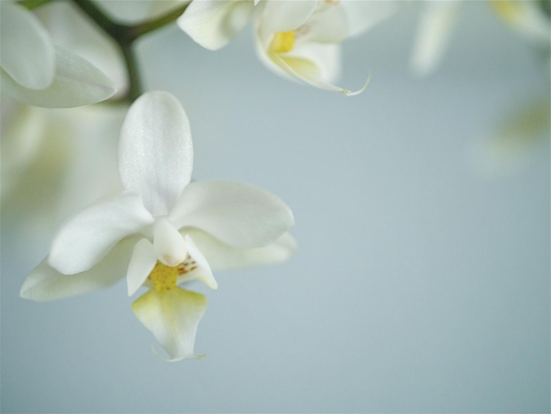 zarte Orchidee 1