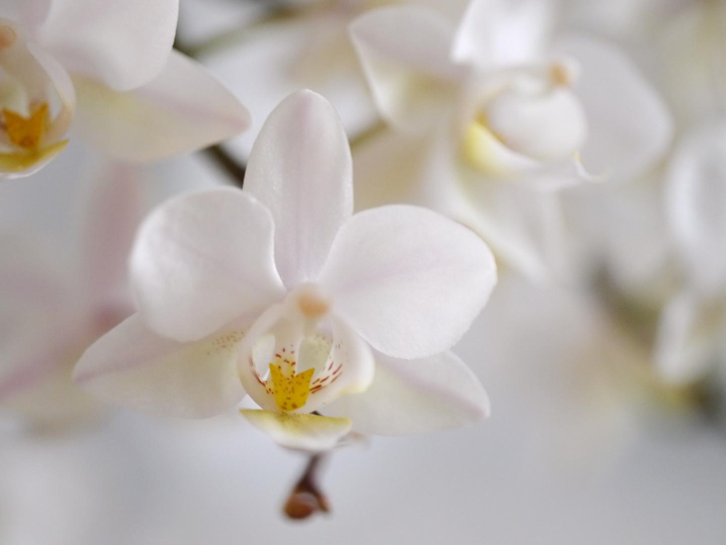 zarte Orchidee 2