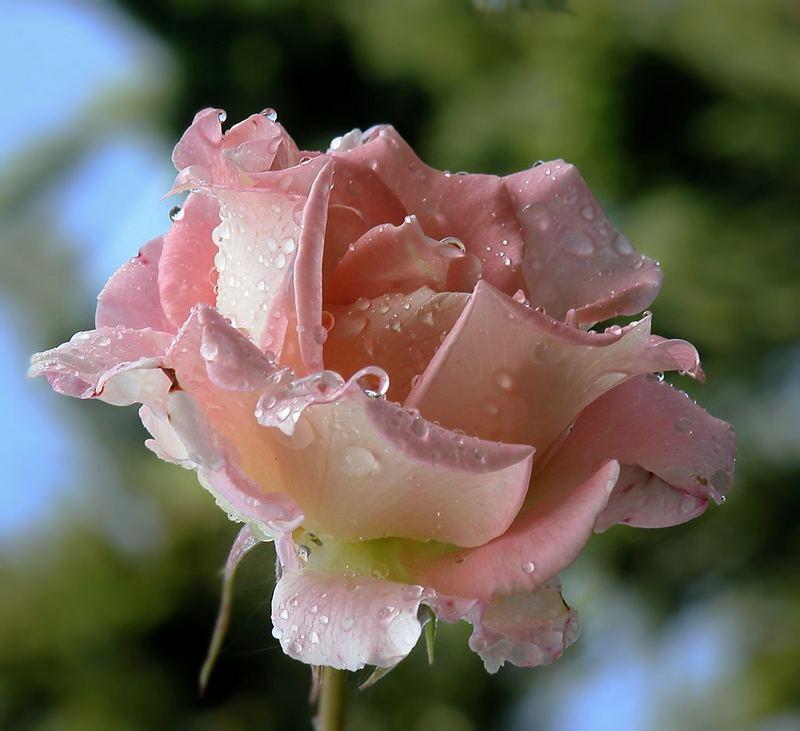 Zarte Rose trotzt dem regen