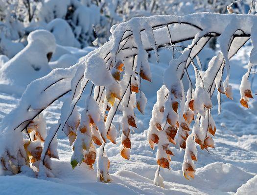 Zarte Schneekristalle umarmen die Herbstblätter … - L'hiver embrasse l'automne avec douceur!