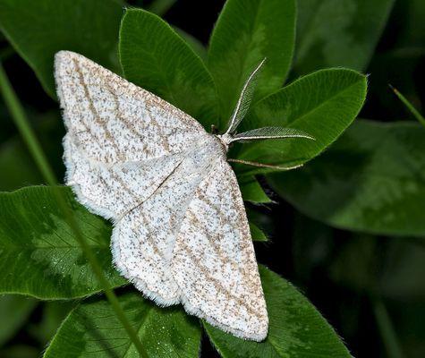 Zarte Schönheit aus dem Wald, der Braunstirn-Weißspanner (Cabera exanthemata) - Quelle Finesse! *