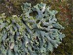 Zarte Schwielenflechte (Physcia tenella) - Ausschnitt