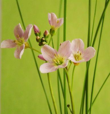 zarte Wiesenblume